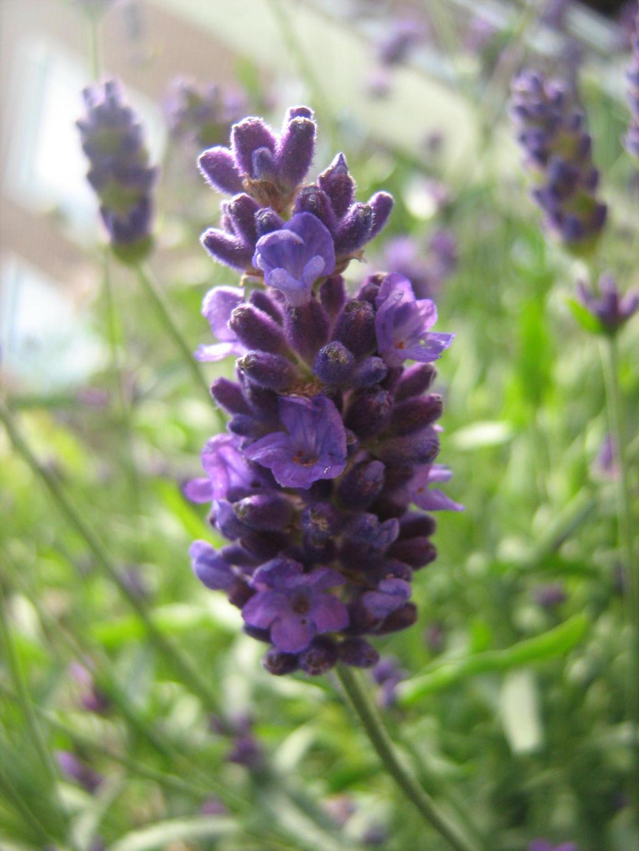 Lavender by Eszies-Eszie