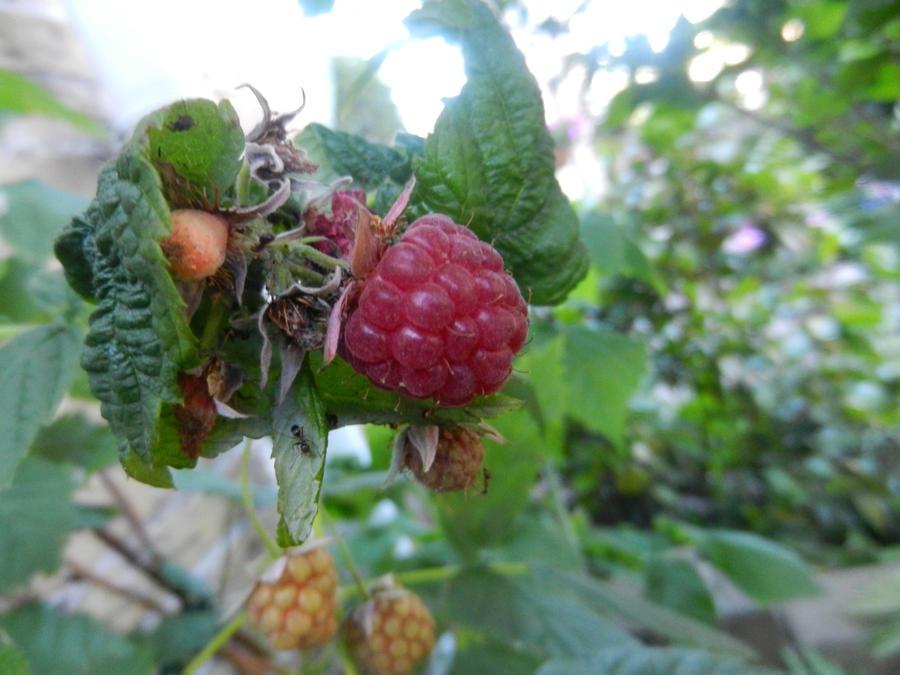 Red fruit, black ants by Eszies-Eszie