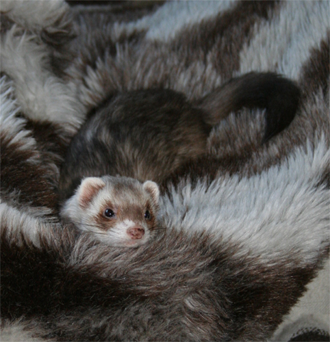 ferret camouflage by Nightchanger