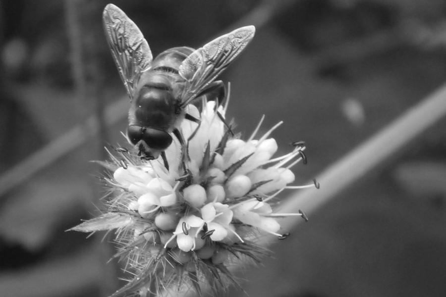 Black And White Bee By Embrace The Night