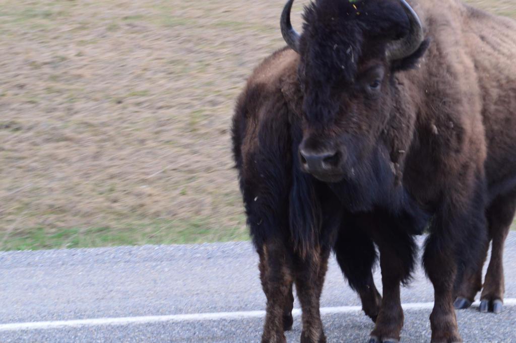 buffalo by BCMountainClimber