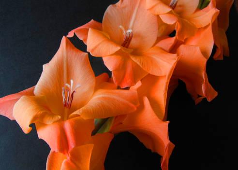 Orange Gladdi