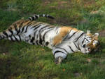 What Do Tigers Dream of...
