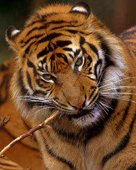 Tiger Tooth Brush