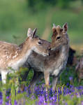 Fallow Deer in Spring Time