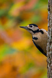 Greater Spotted Woodpecker 10