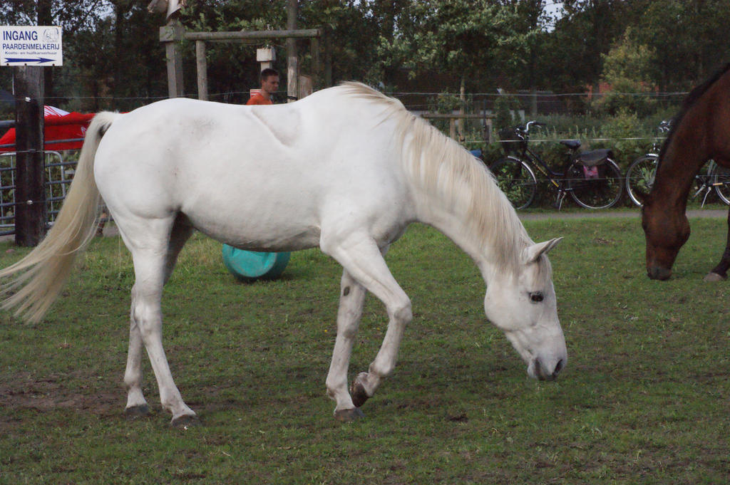 white arabian horse stock II by lovergil on DeviantArt