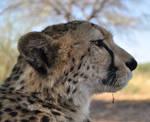 Cheetah - stock