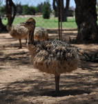 Baby ostrich - stock by kridah-stock