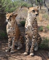 Cheetahs sitting - stock by kridah-stock