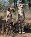 Cheetahs sitting - stock