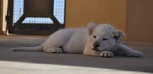 Sleepy white lion cub - stock