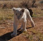 White lion cub - stock