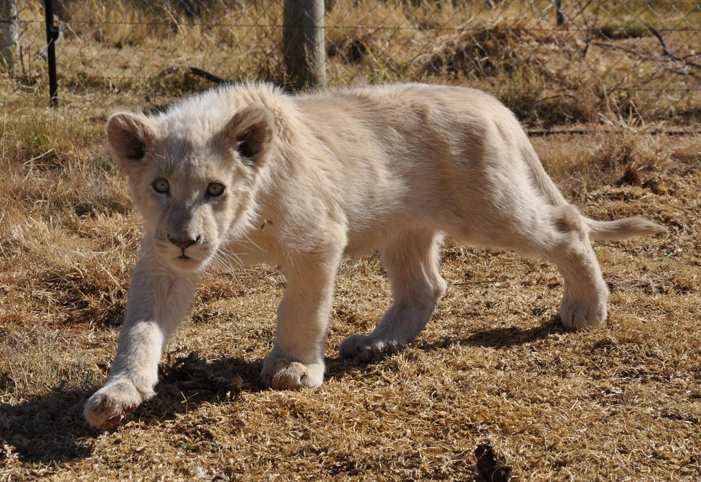 Stalking white lion cub - stock by kridah-stock