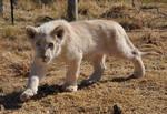 Stalking white lion cub - stock