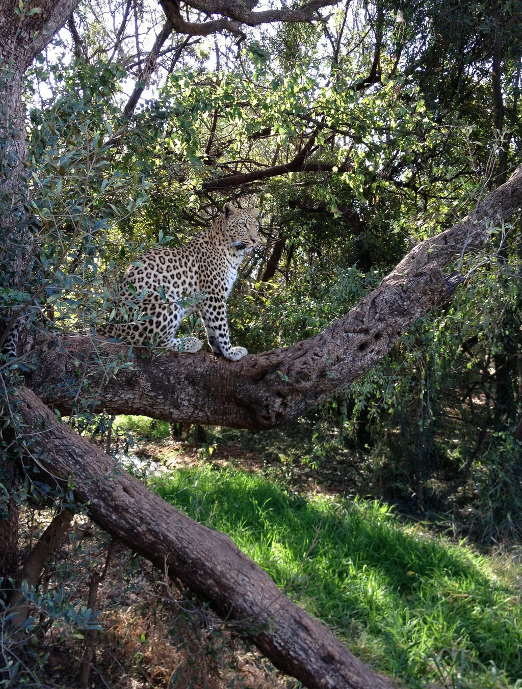 Leopard in tree - stock by kridah-stock