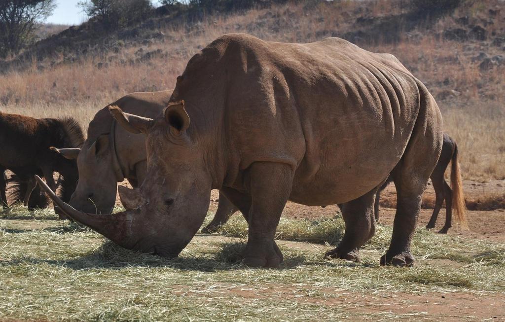 White rhino - stock by kridah-stock