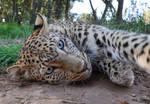 Leopard portrait - stock