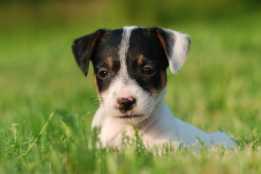 Recherche de photos ~à locker. Jack_Russel_terrier_puppy_by_Foto_front