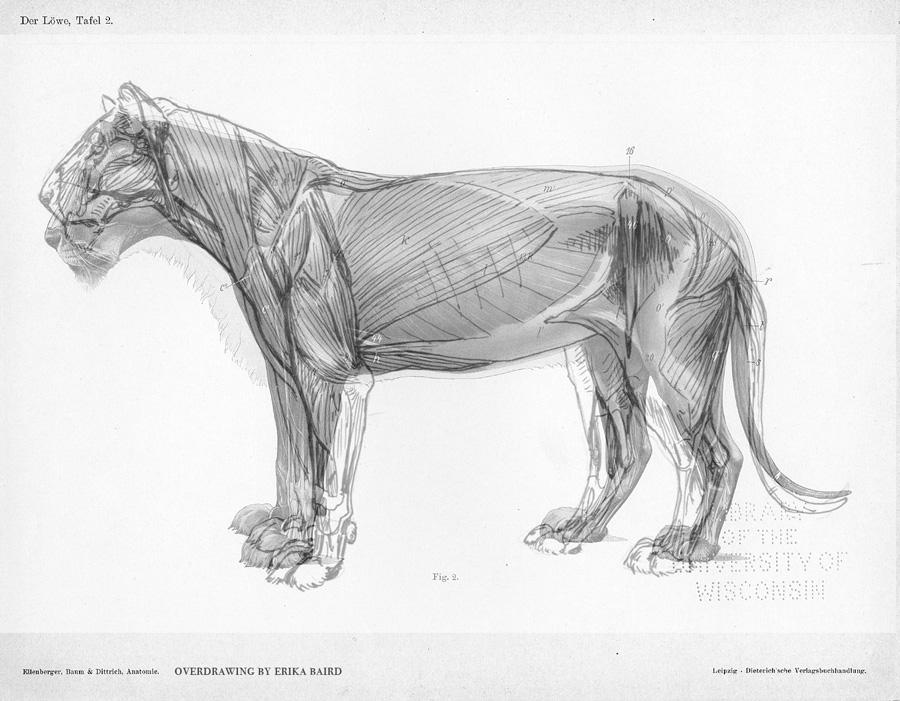 What I do isn\'t secret: Lion Study by Starhorse on DeviantArt