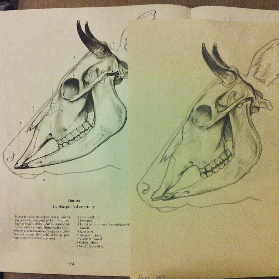 Study on Cow Skull Anatomy by P1mpCan3 on DeviantArt