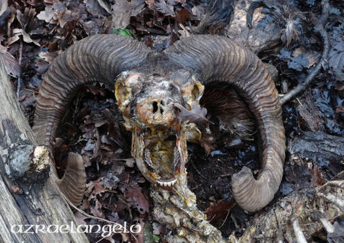 60 percent of mouflon