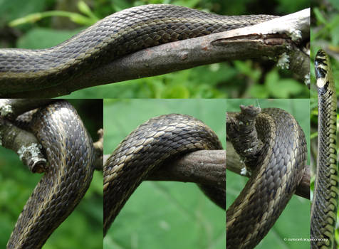 Natrix natrix persa details12