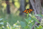 Rosie Crafts Monarch Butterfly