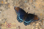 Rosie Crafts Swallowtail Butterfly Photography by rosiecrafts