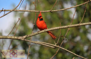Rosie Crafts Male Cardinal Perched on Branch