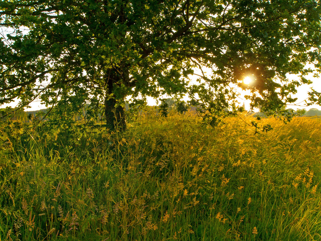 Tall grass and sun by davepphotographer on deviantart for Tall grasses for sun