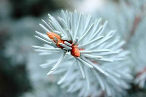 Blue Spruce by Silisav