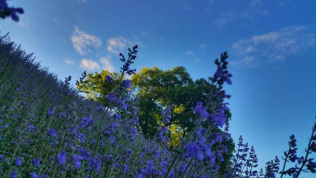 Lavender Morning 2