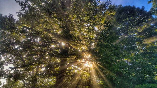 Sunrise thru the foggy forest 1