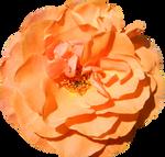 Cut Flower 007 - HB593200