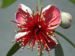 Feijoa Flower 001 - HB593200