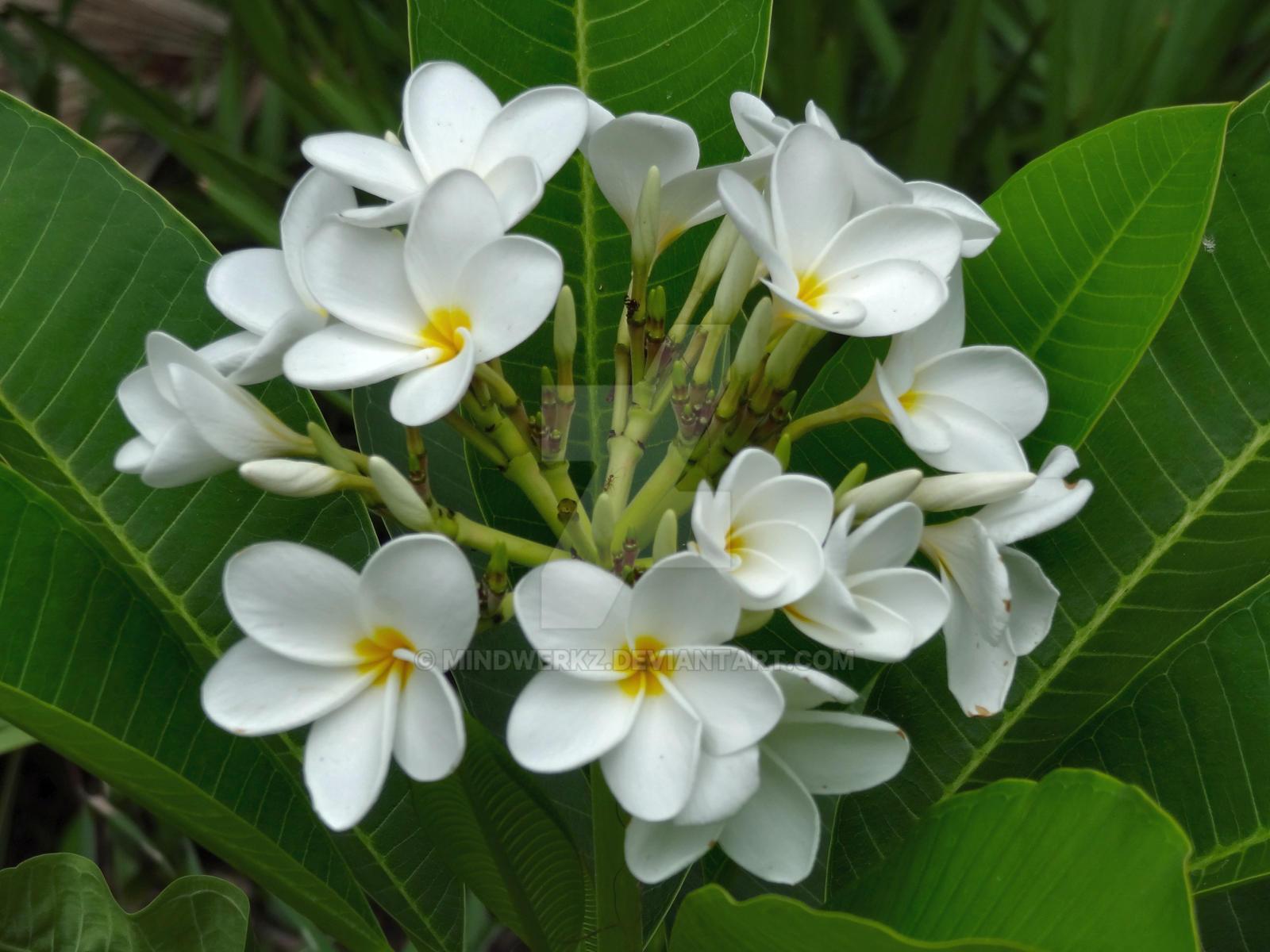 Plumeria Flowers by Mindwerkz