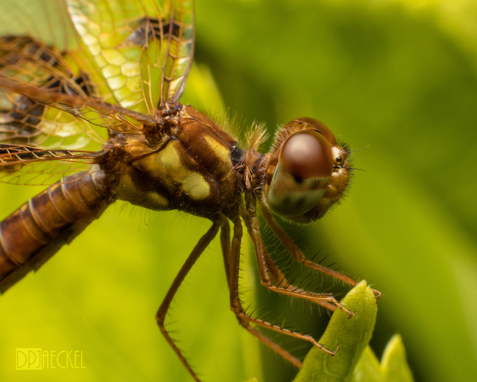 Baby Dragonfly Profile by doug633