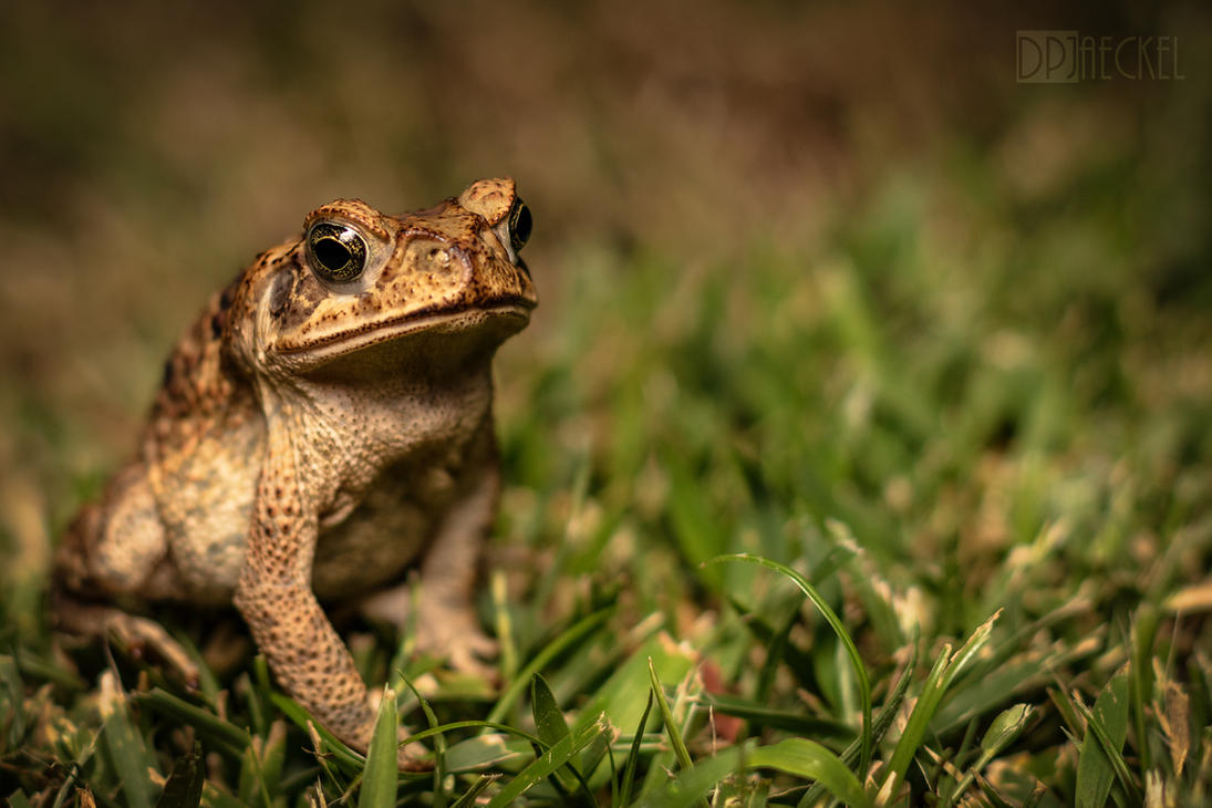 Giant/Cane Toad by doug633