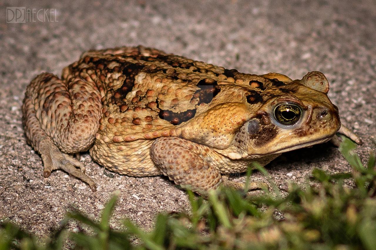 Cane toad invasive species speed dating