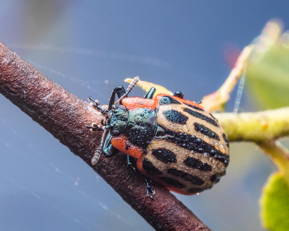 Cottonwood leaf beetle by doug633