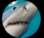 Great White Shark by kittengeist