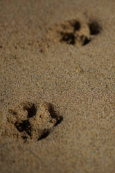 Dog pawprints in the sand