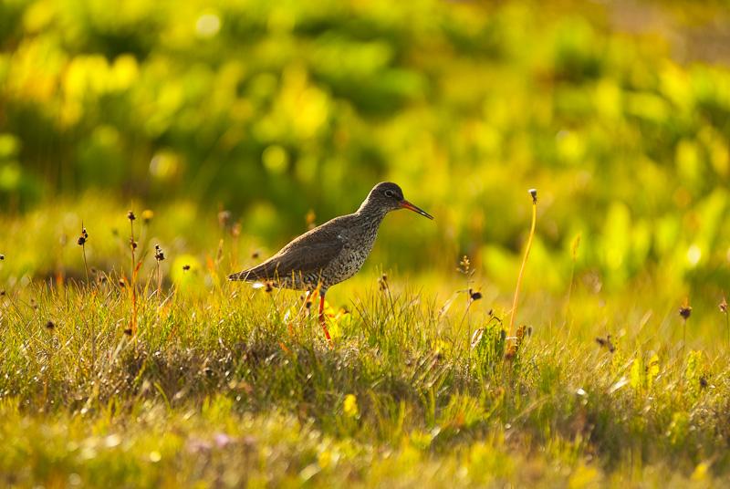 Common Redshank by Goro38