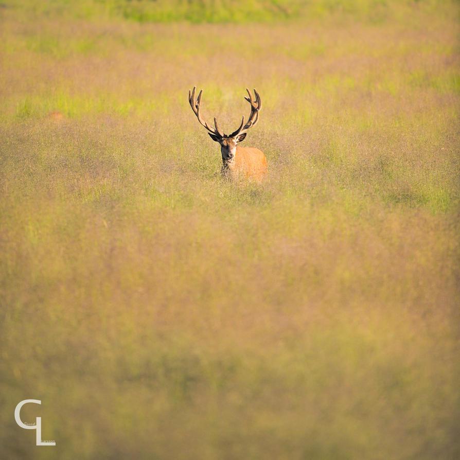 Red deer by Goro38