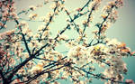 first blossoms wallpaper