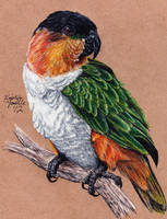 Commission - Black-Headed Caique by KristynJanelle