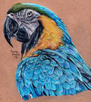 Blue and Gold Macaw - Redrawn AGAIN