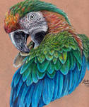 Catalina Macaw Preening