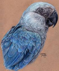 Losing Altitude - Spix's Macaw by KristynJanelle